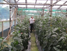 indonesia greenhouse